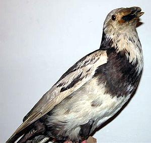 Pied raven - Image: Image Pied Raven Hvidbroget ravn