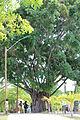 Imbassaí Árvore.JPG