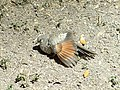 Inca dove spreading feather 201708313.jpg