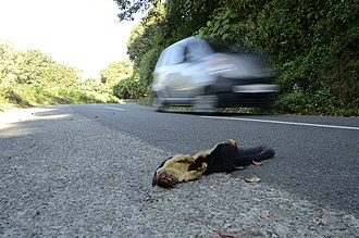 Road ecology - Indian giant squirrel, a tree dweller, killed on a road that has disrupted the rainforest canopy