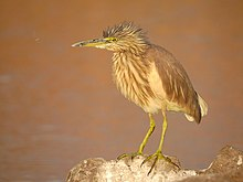 Indian pond heron (Ardeola grayii) Photograph by Shantanu Kuveskar.jpg