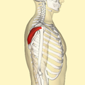 Infraspinatus muscle lateral.png