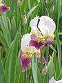 Iris x barbata0.jpg