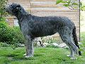Irishwolfhound huendin 7jahre.jpg