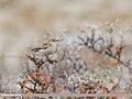 Isabelline Wheatear (Oenanthe isabellina) (45960785871).jpg