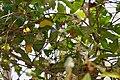 Ixora brachiata W IMG 5978.jpg