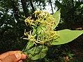 Ixora malabarica flowers at Mayyil (1).jpg