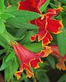 J20150929-0021—Mimulus 'Fiesta Marigold' PPAF—RPBG Plant Sale (21821874856).jpg