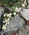 J20151029-0101—Symphoricarpos albus var laevigatus—RPBG (22538934150).jpg