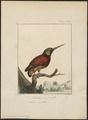 Jacamerops grandis - 1810-1819 - Print - Iconographia Zoologica - Special Collections University of Amsterdam - UBA01 IZ16800397.tif