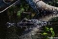 Jacare a espreita no Pantanal.jpg