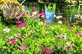 Japan - Tochigi, lake Chuzenji Primula japonica 2016 2.jpg