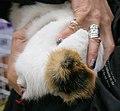 Japanese Bobtail's bobbed tail - URK cat show Vantaa 2006-10-08.JPG