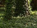 Jardines de Sabatini, yedra en el parque, Madrid, España, 2015.JPG