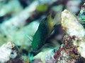 Jewel damsel (Plectroglyphidodon lacrymatus) (31603989944).jpg