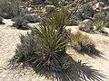 Joshua Tree Nationalpark Hidden Valley Nature Trail P4140418.jpg
