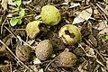 Juglans mandshurica var. sachalinensis 06.jpg