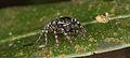 Jumping spider from ecuador (14864091349).jpg