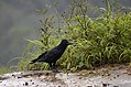 Jungle crow (Corvus macrorhynchos) from anaimalai hills JEG3187.jpg