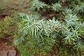 Juniperus oxycedrus kz07 (Morocco).jpg