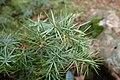 Juniperus oxycedrus kz09 (Morocco).jpg