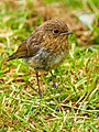 Juvenile Robin (19002006824).jpg