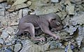 Juvenile sciurus carolinensis 2 (cropped).jpg