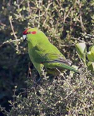 Red-crowned parakeet - Image: Kakariki