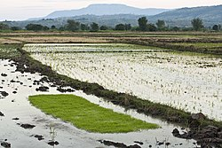 Rice fields in Karonga
