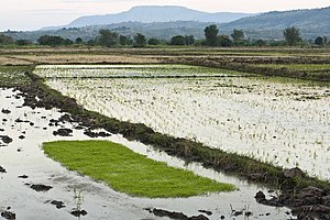 Karonga - Rice fields in Karonga