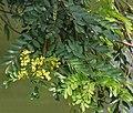 Kassod (Senna siamea) flowers & leaves W IMG 0540.jpg