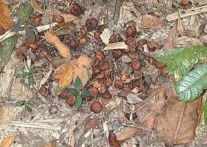 Feces - The cassowary disperses plant seeds via its feces