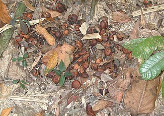Feces - The cassowary disperses plant seeds via its feces
