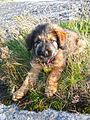 Katalansk gjeterhund valp.jpg