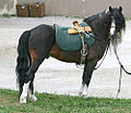 Kerry bog pony stallion.jpg