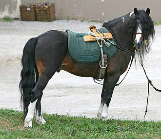 Kerry Bog Pony - A stallion with pack saddle