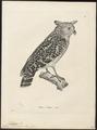 Ketupa javanensis - 1700-1880 - Print - Iconographia Zoologica - Special Collections University of Amsterdam - UBA01 IZ18400117.tif