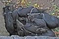 Kharkiv Zoo Pecari tajacu.jpg