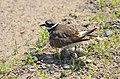 Killdeer Protecting Her Nest (27946790257).jpg