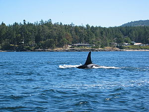 Orca seen from whale watching boat near Victor...