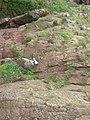 Kittiwakes on the breeding cliffs - geograph.org.uk - 259391.jpg