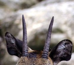 Klipspringer horns.jpg