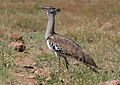 Kori bustard, Ardeotis kori, at Pilanesberg National Park, Northwest Province, South Africa (28439467790).jpg