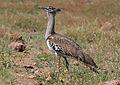 Kori bustard, Ardeotis kori, at Pilanesberg National Park, Northwest Province, South Africa (28439467790).jpg