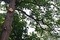 Koshevy Oak 71-220-5070 SAM 6579.jpg