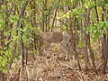 Kruger Park - Unusual colourings on antelope - panoramio.jpg