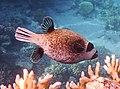 Kugelfisch; Arothron diadematus; Masked puffer.DSCF3577WI.jpg