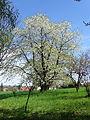 KwitnącaCzereśnia-Wiosna-POL, Lednica Górna.jpg