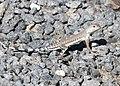 LIZARD, WESTERN ZEBRA-TAILED (Callisaurus draconoides rhodostrictus) (9-24-2015) rte 95, churchill co, nevada -02 (21254856944).jpg