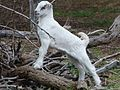 LaMancha Baby Goat. James Brennan Molokai - panoramio.jpg